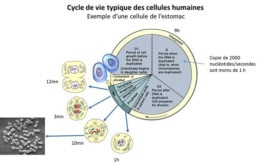 Cycle vie cellule
