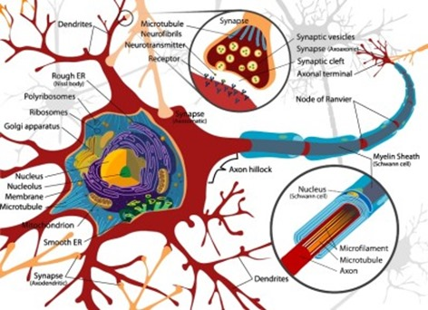 Neuron axones and synapses