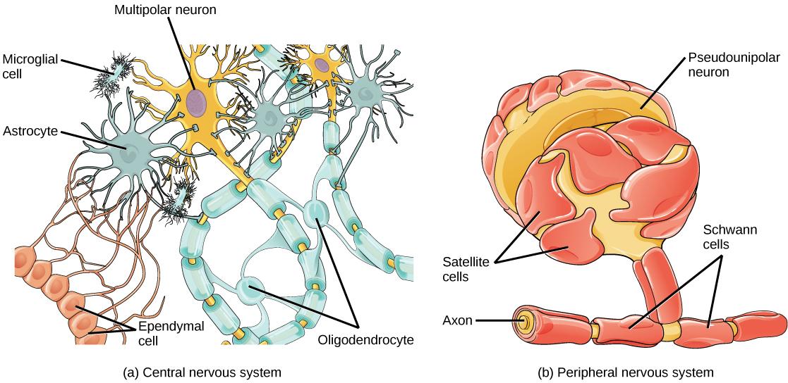Cellules gliales