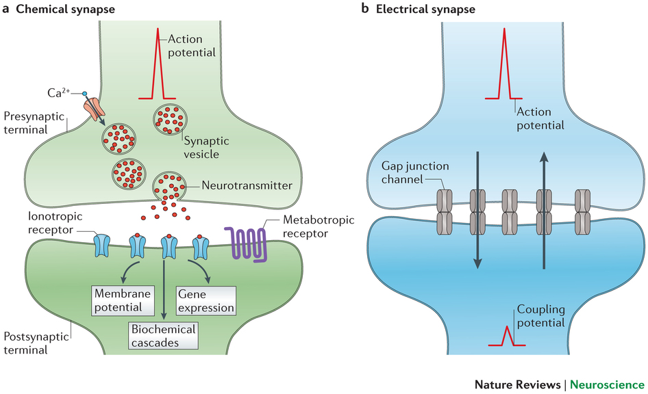 Chemical vs electrical synapse