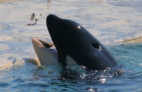 Orque au Marineland d'Antibes (1/640s)