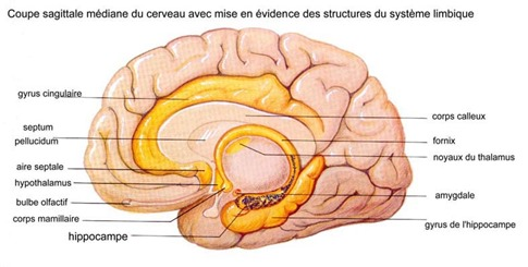 Cerveau limbique