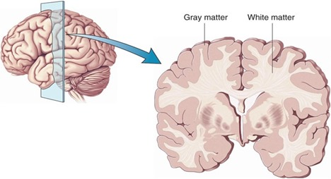 Cortext white and grey matter (Harvard)