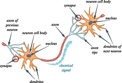 Synapses axones et dendrites