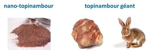 Nano-topinambour et topinambour géant