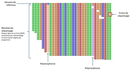 ADN Polymorphisme