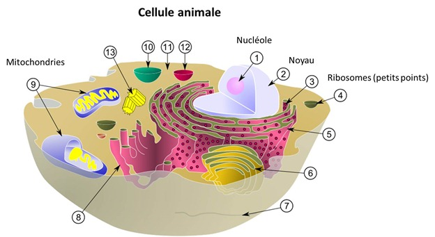Cellule animale