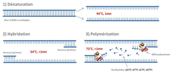 Cycle PCR