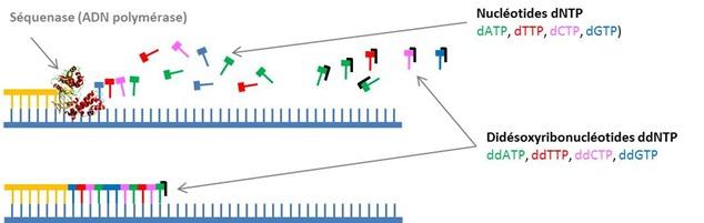 Methode Sanger Polymerisation