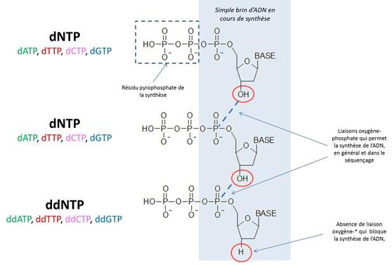 Methode de Sanger dNTP et ddNTP