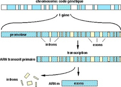 Transcription ADN