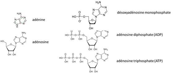 Adenosine Adenine ATP
