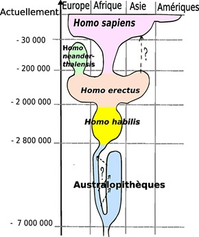 Human evolution (Wikipedia)